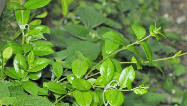 В лекарственных целях используют молодую листву и побеги джимнемы