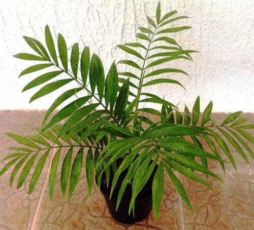 Хамедорея относится к самым популярным комнатным растениям
