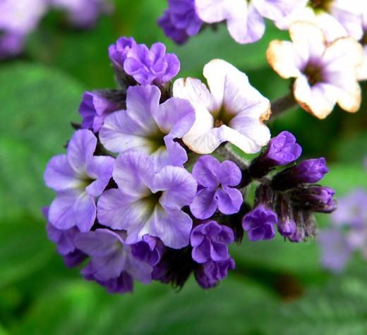 Цветок гелиотроп – распространённое растение, относящиеся к роду из семейства Бурачниковые