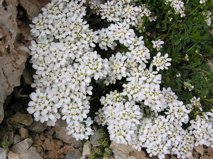 Иберис вечнозеленый (I.sempervirens)