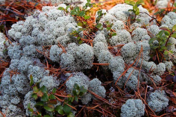 Исландский мох обладает антибактериальным свойством