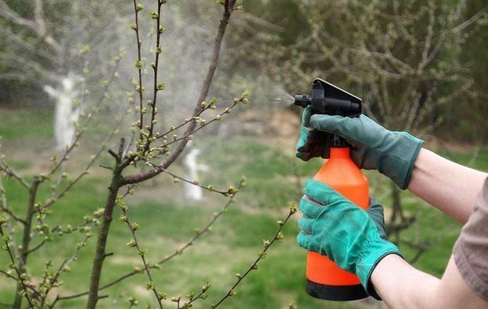 При помощи раствора на основе Карбофоса можно достаточно эффективно бороться с растительными паразитами на декоративно-лиственных культурах