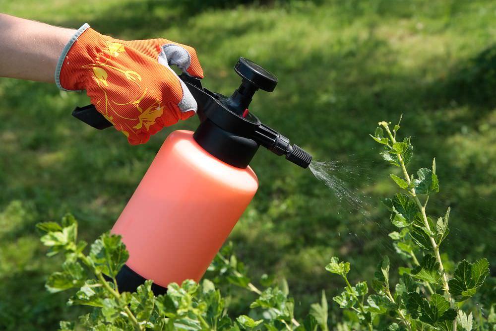 Обработка ягодных кустарников требует применения определенной концентрации активного вещества Карбофоса