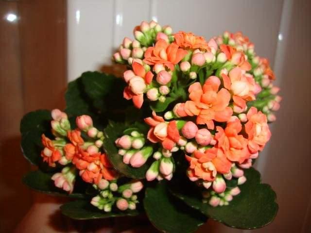 Махрово-цветковый сорт Ваrdоt отличается длительным цветением и соцветиями яркого апельсиново-оранжевого цвета