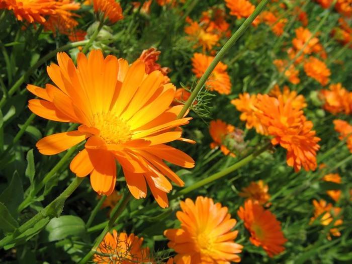Календулу лекарственную можно самостоятельно выращивать на дачных и приусадебных участках