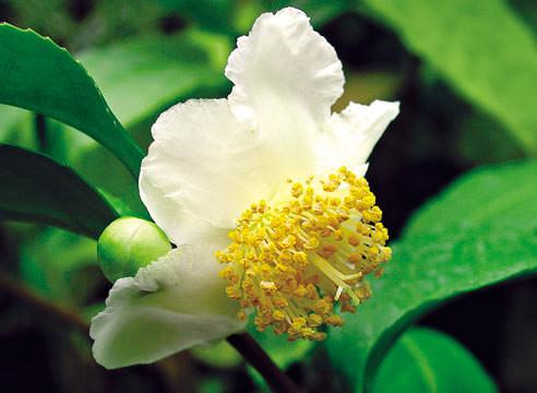 Камелия китайская – это название известного всем чайного куста