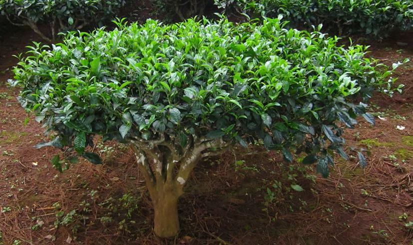 Камелия китайская внешне сходна с чайными растениями