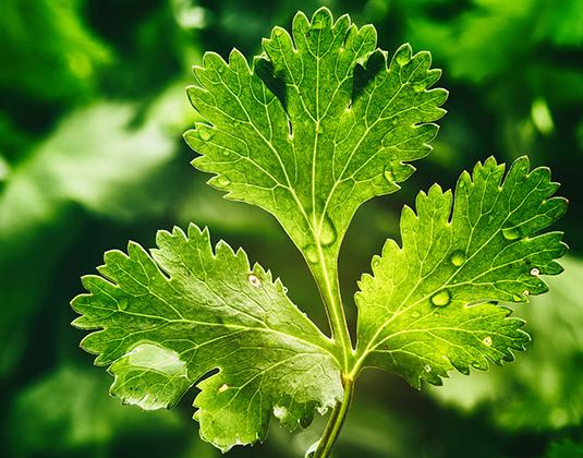 В листьях кинзы содержится витаминный комплекс, важные для человека микроэлементы