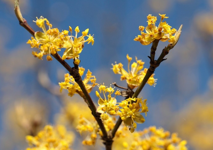 Зацветает кизил очень рано – со второй половины марта до начала апреля