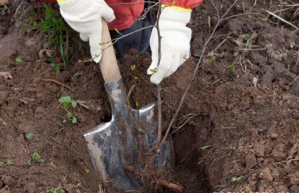 Обычно саженцы кизила высаживают весной