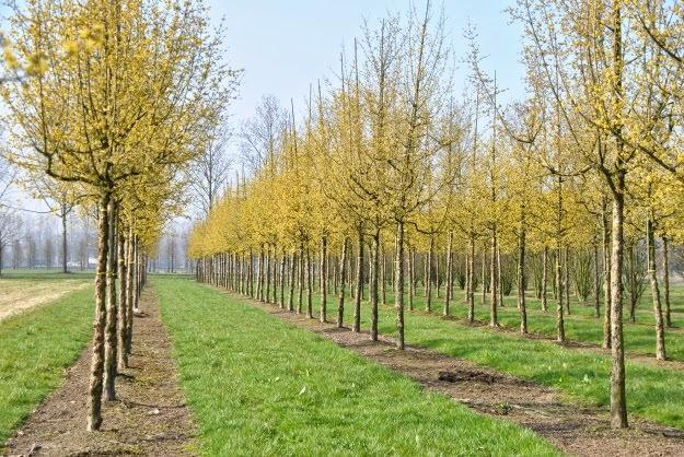 Растущие деревца кизила не требуют особого ухода