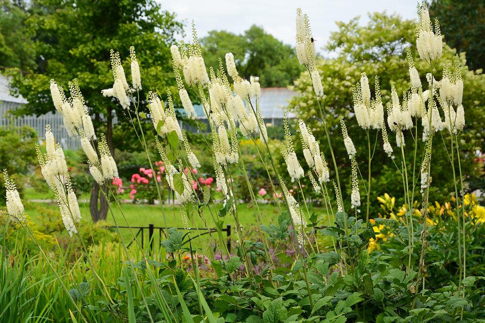 Клопогон – многолетнее растение, в благоприятных условиях может вырасти до 2 м