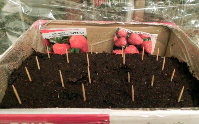 Выращивание клубники из семян предполагает посадку материала в конце декабря