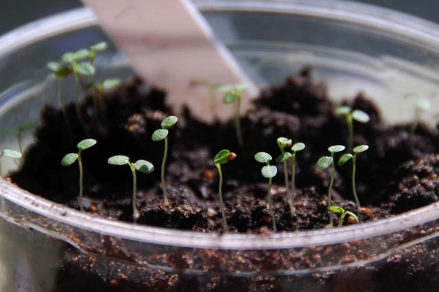 Рассада клубники будет хорошо развиваться при выращивании в теплом, хорошо освещенном месте