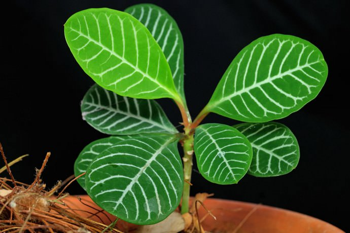 Молочай беложильчатый (Euphorbia leuconeura)