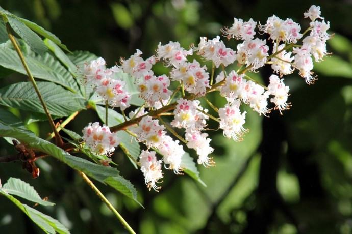 Конский каштан массово цветет в период с мая по июнь