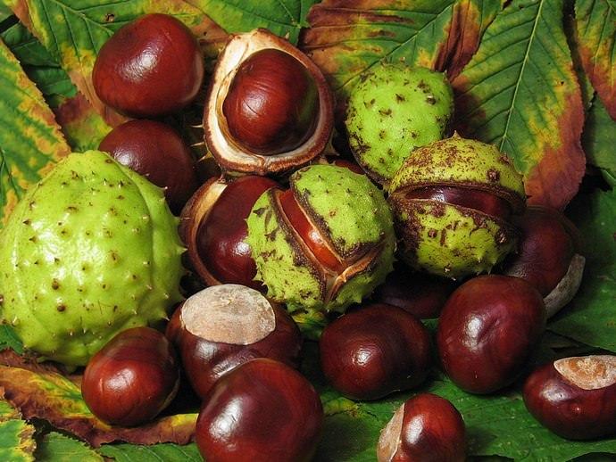 Плоды каштана являются настоящей кладезю полезных компонентов и микроэлементов