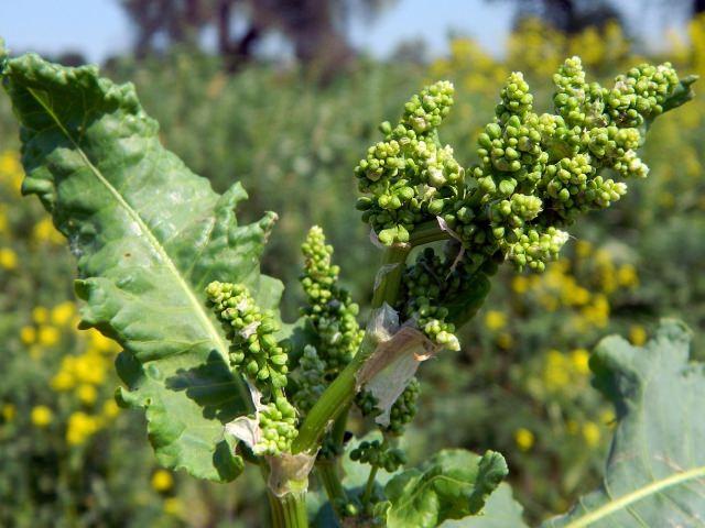 Плоды щавеля появляются в третьей декаде августа – первой декаде сентября