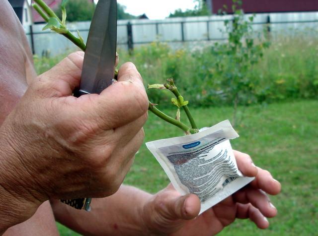 Корневин широко используется при укоренении черенков роз