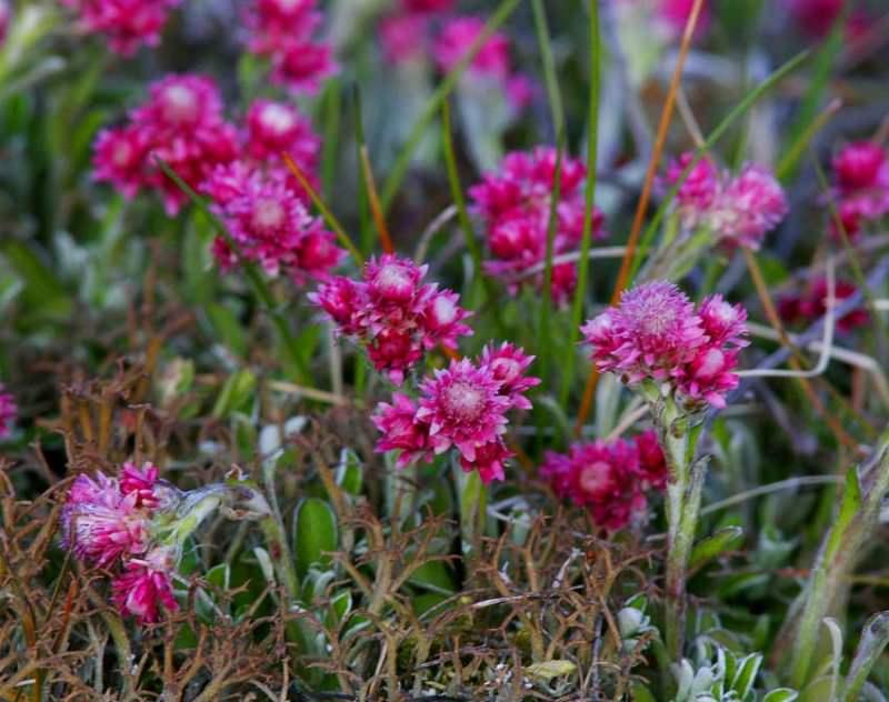 Растение относится к категории двудомных, поэтому корзинки, представленные женскими цветками