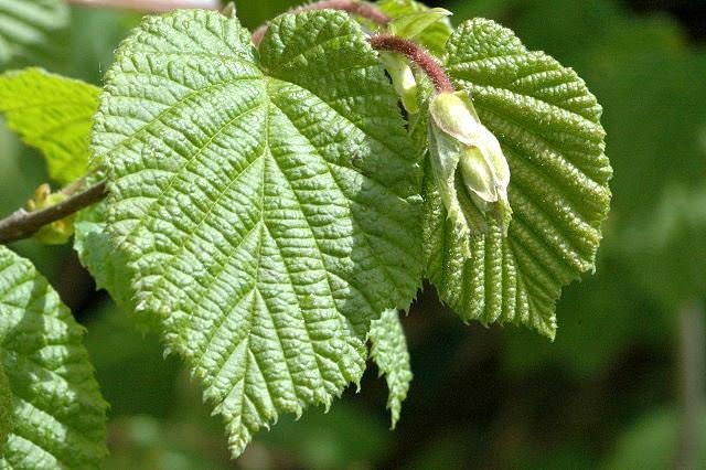 Молодые листочки орешника рекомендуется собирать в мае