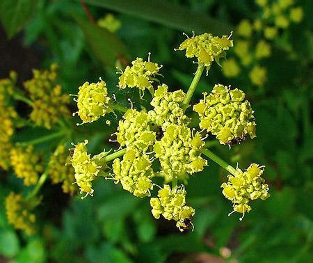 Любисток — травянистый многолетник