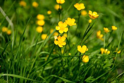 Садовые лютики – очень декоративный и неприхотливый цветок