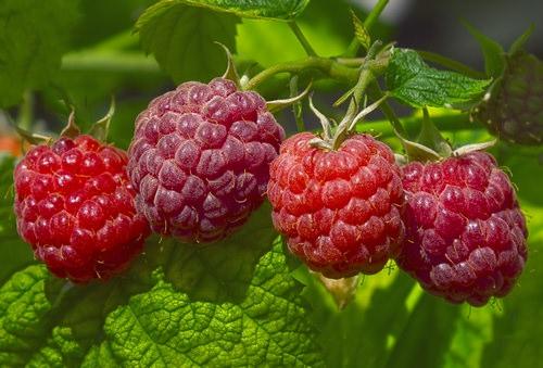 Лучшие сорта малины для различных регионов России