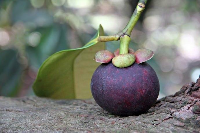 Зрелый плод мангустина обладает кожурой бордового цвета, являющейся несъедобной