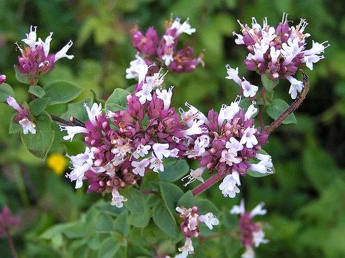 Майоран – удивительный цветок, который применяется в народной медицине, косметологии и парфюмерии
