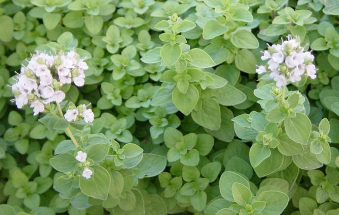 Цветет майоран в середине лета
