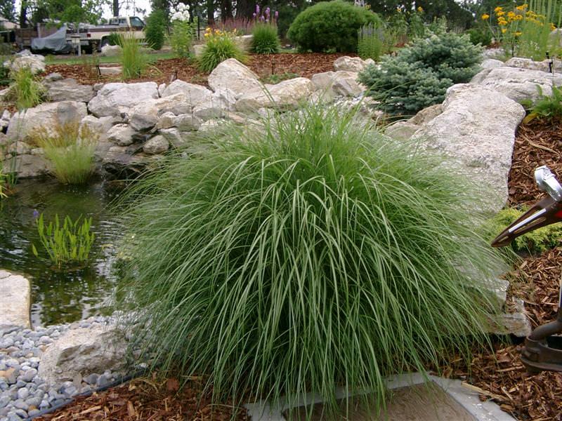 Мискантус представляет собой довольно высокое растение, которое разрастается до 2 метров