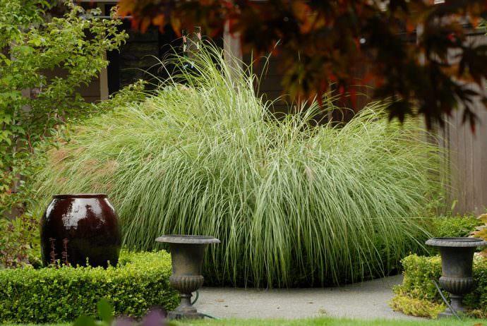 Веерник растет много лет (до 25-30) и не нуждается в особенном уходе