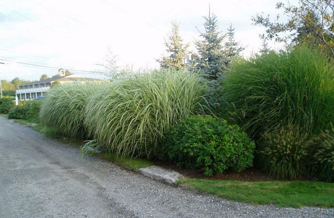 Мискантус используется для создания зеленой изгороди