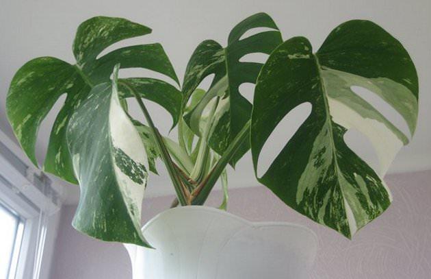 Монстере нужен солнечный свет, поэтому располагать цветочный горшок с растением желательно на восточном или западном окне