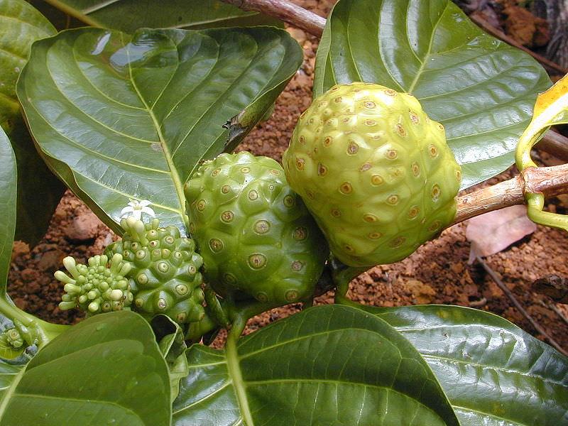 Моринда лимонолистная – это вечнозеленое дерево, которое относится к семейству Мареновые