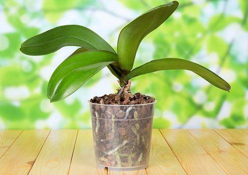 Чтобы выяснить, почему не цветёт орхидея, необходимо разобраться в особенностях её разведения