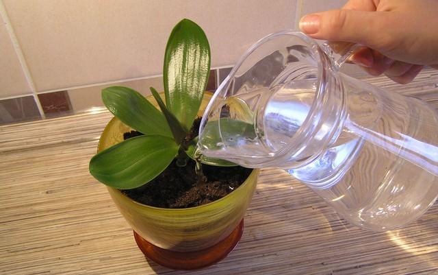 Одной из причин отсутствия цветов у орхидеи является неправильный полив