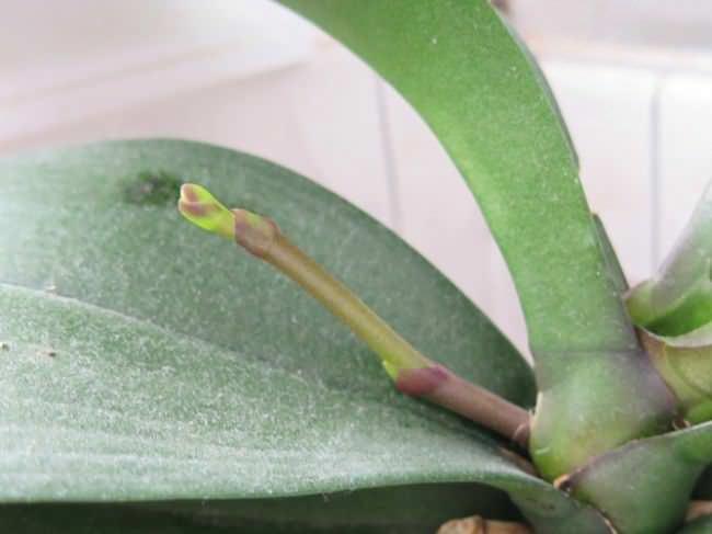 С того момента как орхидея пустила стрелу, до раскрытия первых цветков пройдёт около 2 месяцев