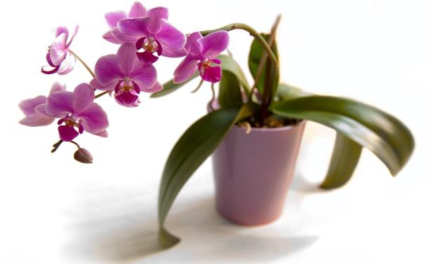 Если орхидея зацвела, в удобрениях уже нет необходимости