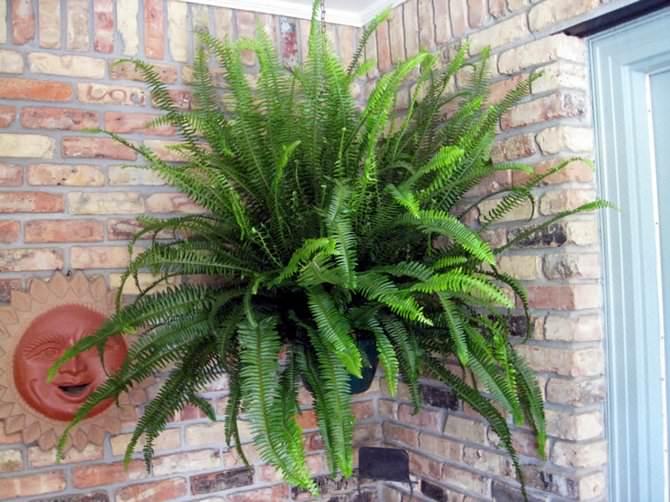 Весной и летом дважды в месяц нужны подкормки папоротнику минеральными и органическими удобрениями