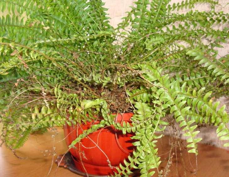 Возможной причиной пожелтения листьев нефролеписа может быть и тесный вазон
