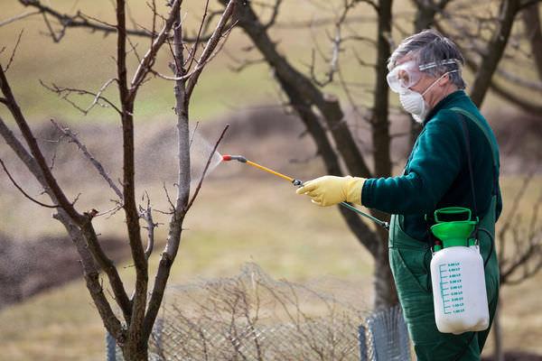 После первых осенних заморозков следует обработать сад раствором мочевины