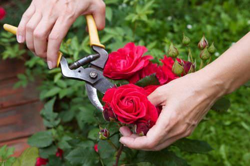 Обрезка розы является одним из основных агротехнических приёмов при осуществлении ухода за декоративной культурой