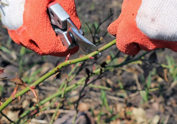 Короткую обрезку рекомендуется применять при выращивании вьющихся полиантовых сортов роз