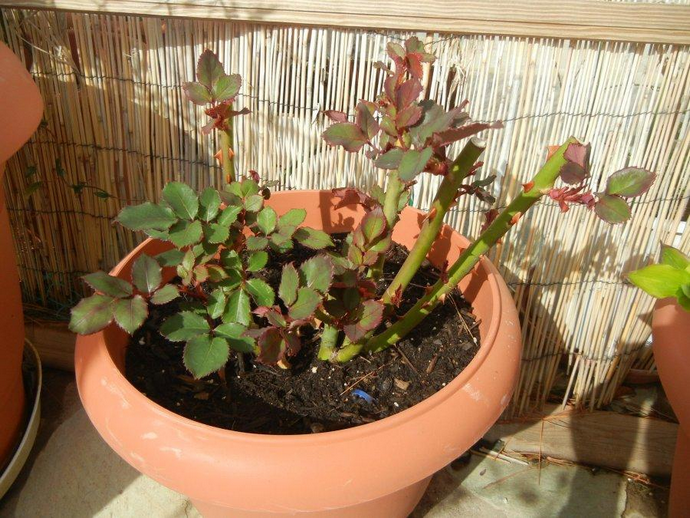 Лучше всего осуществлять обрезку комнатной розы в марте-апреле