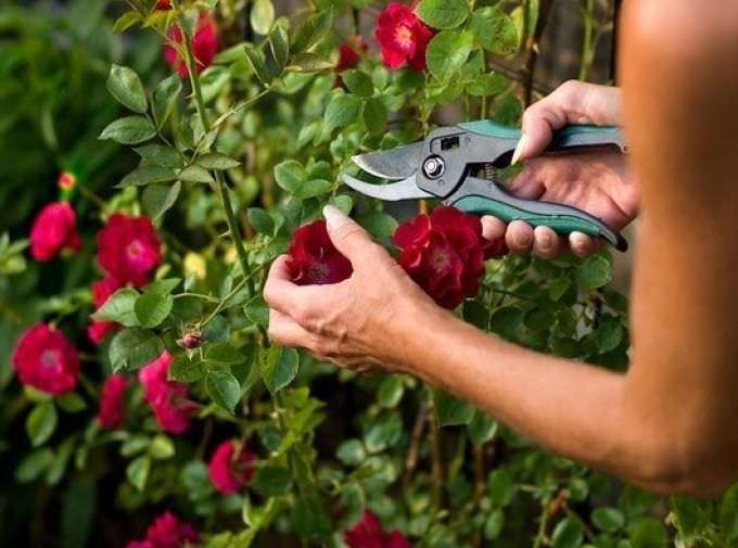 Для осуществления обрезки роз потребуется приготовить удобный и хорошо заточенный секатор