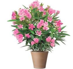 Олеандр относится к монотипному роду цветковых растений из семейства Кутровые