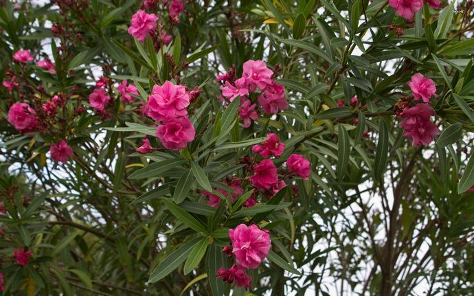 В нашей стране олеандр популярен как красивоцветущее и высокодекоративное комнатное растение