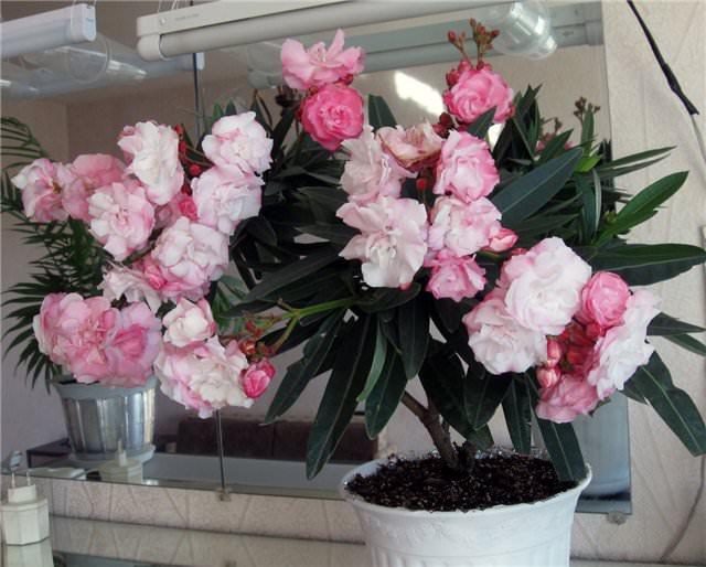 Обыкновенный олеандр, культивируется в домашних условиях и подходит для выращивания в просторных помещениях